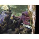 Aquarium de Lyon Pieuvre