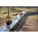 lions Zoo de Thoiry