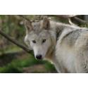 6,50€ Tarif visite parc Les Loups du Gevaudan moins cher avec Accès CE