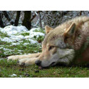 6,50€ Tarif horaire Parc Les Loups du Gevaudan Lozère moins cher avec Accès CE
